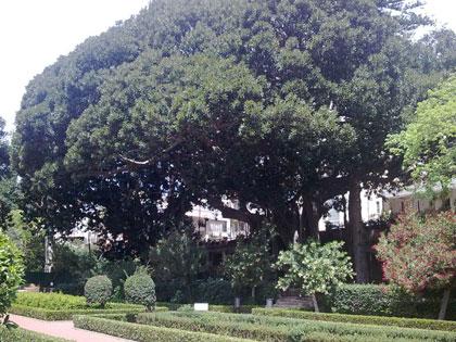 Ficus magnolioides del Parco d'Orleans a Palermo
