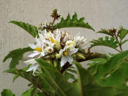 Piante di Solanum torvum in fiore a maggio