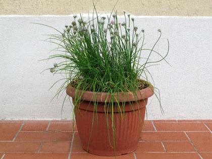 """Coltivate anche sul balcone la """"preziosa"""" erba cipollina, delicato ingrediente dei piatti estivi"""