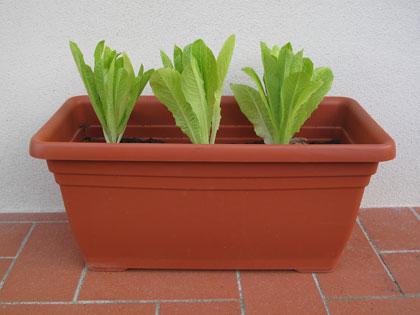Lattuga romana in vaso, coltivarla sul balcone si può!