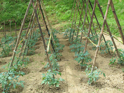 Sostegni e tutori nell 39 orto alcuni esempi e utilizzi con for Piantare pomodori