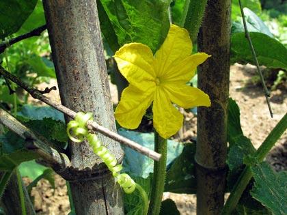 Il fiore del cetriolo e uno dei suoi viticci