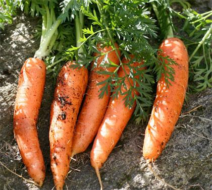 Cosa coltivare nell'orto, c come carota