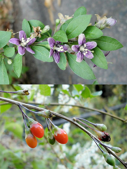 Fiori e bacche di Goji (Lycium barbarum) - Foto di Gertrud K. - Flickr