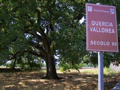 Florablog Contest, un albero monumentale straordinario: la quercia vallonea di Tricase (Le)