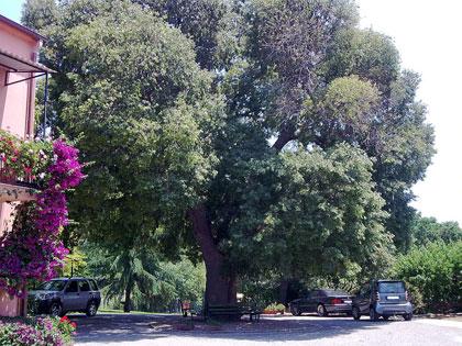 Florablog Contest, nuovo albero monumentale: il bagolaro di Castellaci, Zagarise (CZ)