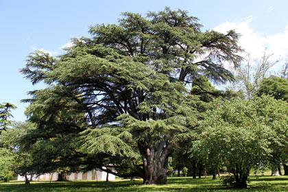 alberi monumentali, cedro del Libano di Villa Paolucci-Merlini a Forlimpopoli (FC)
