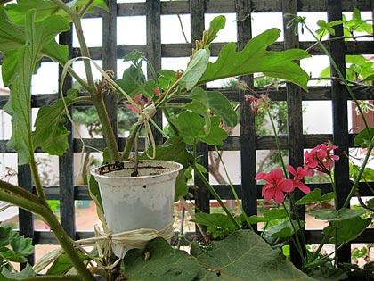 Innesto erbaceo della melanzana sul Solanum torvum