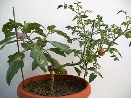 Innesto di pomodoro e melanzana su una pianta di Solanum torvum