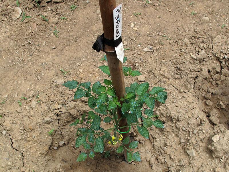 Spoon, il pomodoro più piccolo del mondo