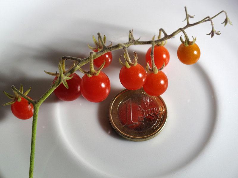 Spoon, il pomodoro più piccolo del mondo - grappolo di pomodori maturi