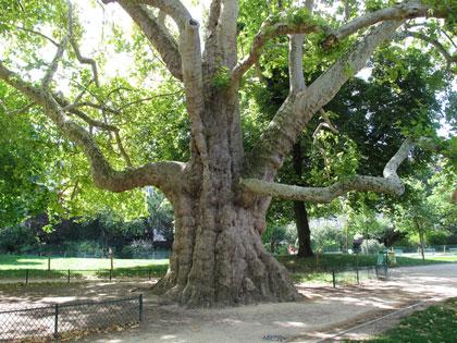 Cartoline da Parigi, l'albero più grande della città