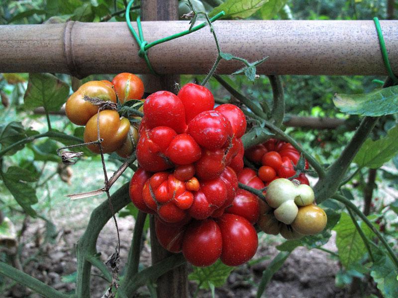 Varietà rare, il pomodoro Reise sulla pianta
