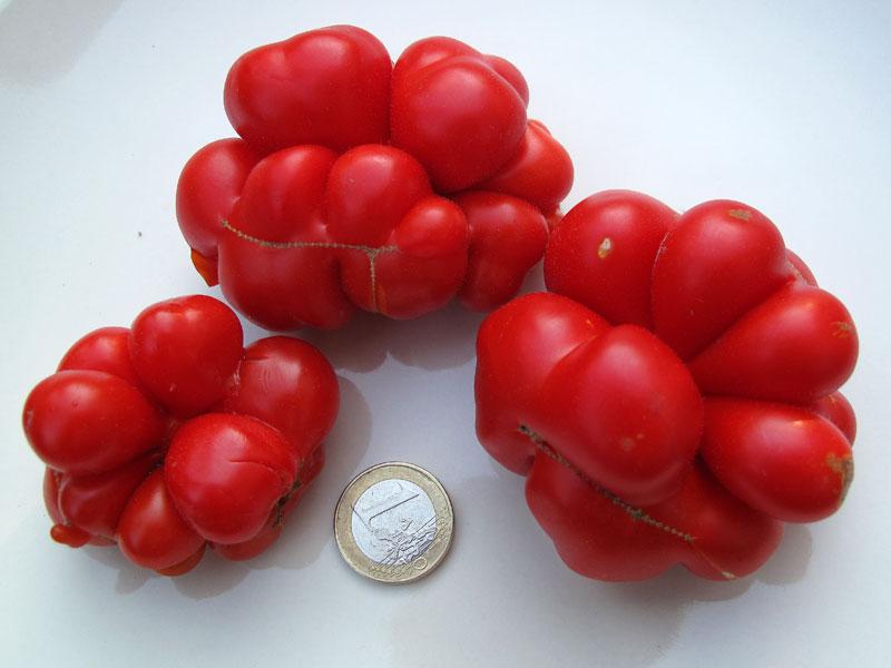 Varietà rare, il pomodoro Reise: dimensioni
