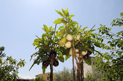 Albero delle melanzane, riuscirò mai ad avere piante così? (meno male che c'è Giuseppe...)