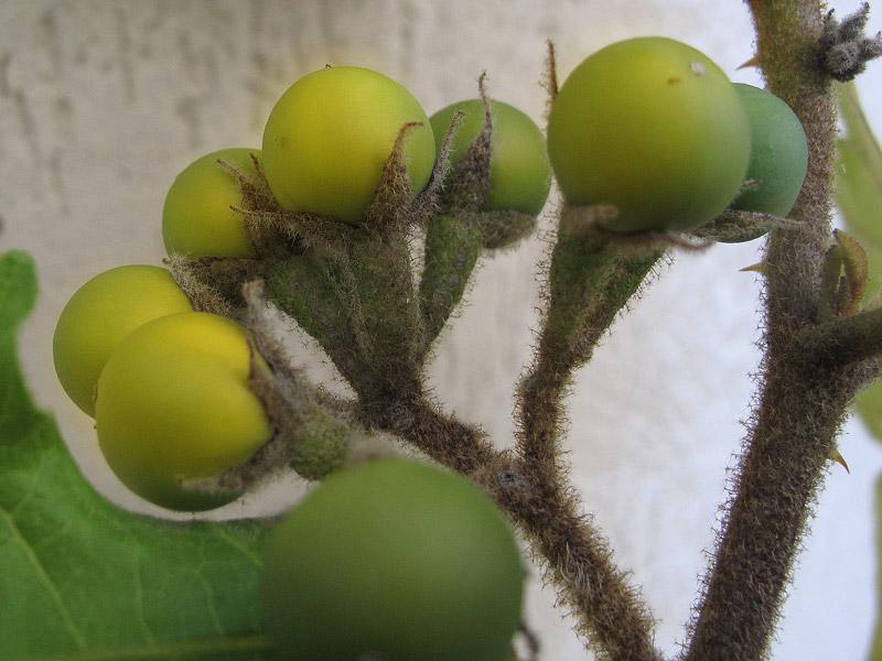 Frutti di Solanum torvum