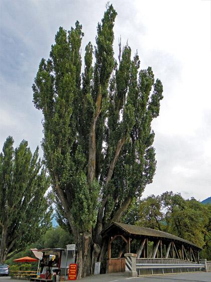 Alberi monumentali, il pioppo di Glorenza, (BZ)