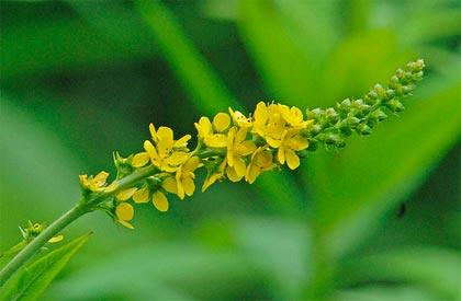 Agrimonia, per la protezione del fegato