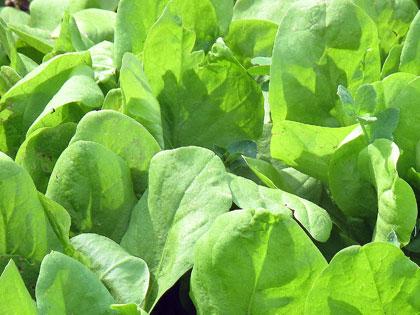 Cosa coltivare nell'orto, c come cicoria da taglio e da raccolta
