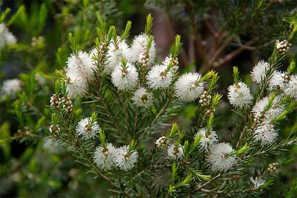 Melaleuca, l'albero del tè contro le infezioni e le micosi