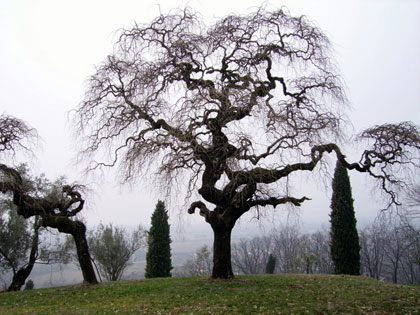 Alberi monumentali, la Sophora japonica di Savorgnano del Torre (UD)