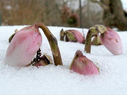 Per chi proprio non si rassegna: l'Elleboro fiorisce in pieno inverno