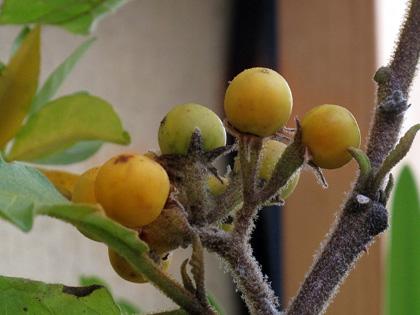 Semi di Solanum torvum, produzione propria! ecco come fare per averli