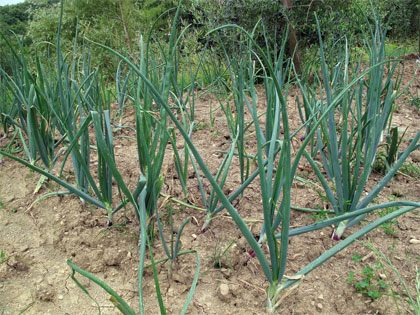 Cosa coltivare nell'orto, c come cipolla
