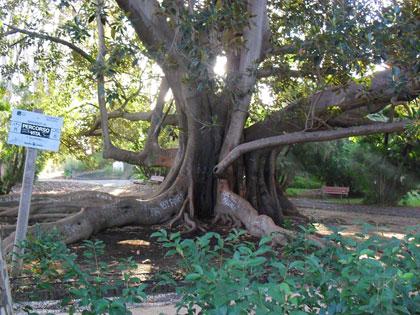 Alberi monumentali, il Ficus macrophylla del giardino Bellini a Catania