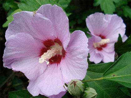 La coltivazione delle principali specie del genere Hibiscus