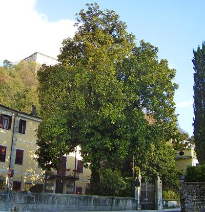 """Alberi monumentali, """"la magnolia della Contessa"""" a Polcenigo (PN)"""