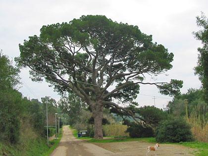 Alberi monumentali, il pino di Monserrato, Isola d'Elba (LI)