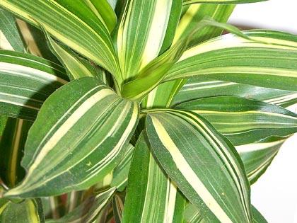 Piante che purificano l'ambiente domestico: Dracaena deremensis