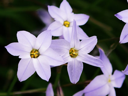 Fiori in inverno, Ipheion uniflorum