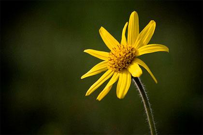 Arnica montana, ottima per traumi e contusioni