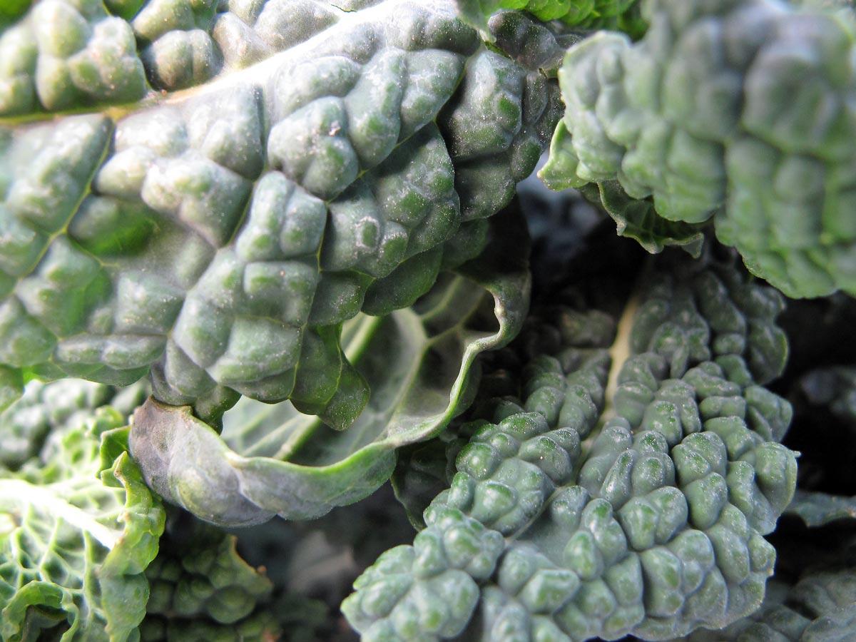 Brassica oleracea var. acephala, il Cavolo nero toscano