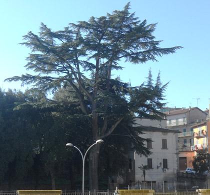 Alberi monumentali, il cedro dell'Himalaya di Vallerano (VT)