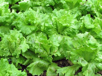 Cosa coltivare nell'orto, L come lattuga
