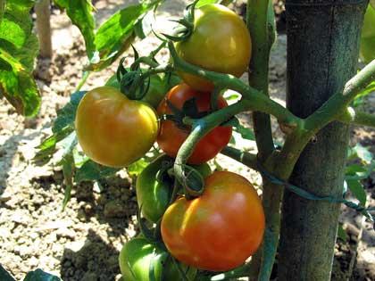Cosa coltivare nell'orto, p come pomodoro