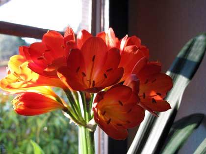 Piante da appartamento, la bellezza della Clivia miniata