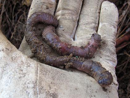 Il lombrico, fondamentale alleato nell'orto e nel giardino
