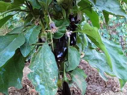 Cosa coltivare nell'orto, M come melanzana