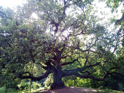 Alberi monumentali, la quercia delle streghe a Capannori (LU)