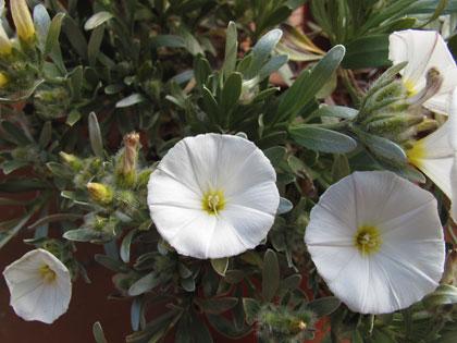 Vilucchio turco (Convolvulus cneorum)