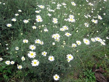 Il piretro, difesa biologica contro molti parassiti dell'orto e del giardino