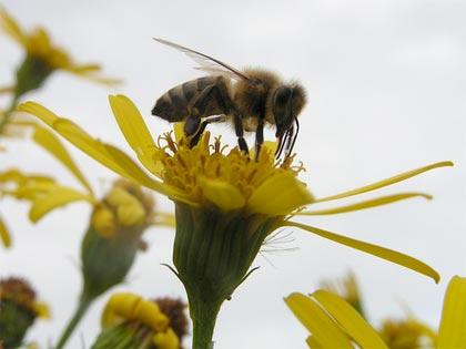 È ufficiale: i telefoni cellulari concausa nella moria delle api