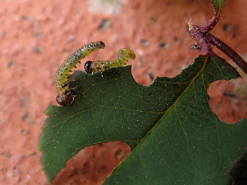 Parassiti, gli argidi delle rose - mangiare con metodo
