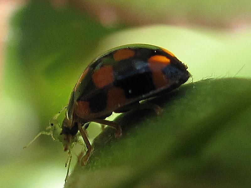Propylaea 14-punctata mangia un esemplare di Macrosiphum rosae