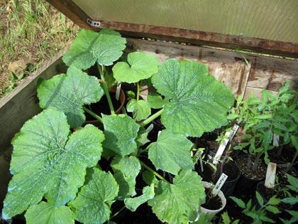 """""""Un posto nel semenzaio"""", anno terzo: piante in cerca di sistemazione - zucchine"""