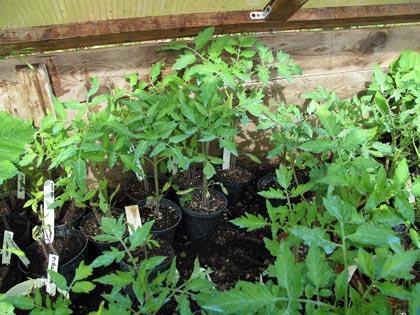 """""""Un posto nel semenzaio"""", anno terzo: piante in cerca di sistemazione - pomodori"""